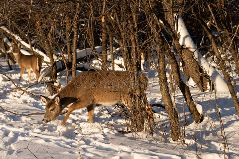 Leuke jonge pluizige hertengangen in het sneeuwbos royalty-vrije stock afbeeldingen