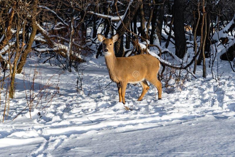 Leuke jonge pluizige hertengangen in het sneeuwbos royalty-vrije stock afbeelding