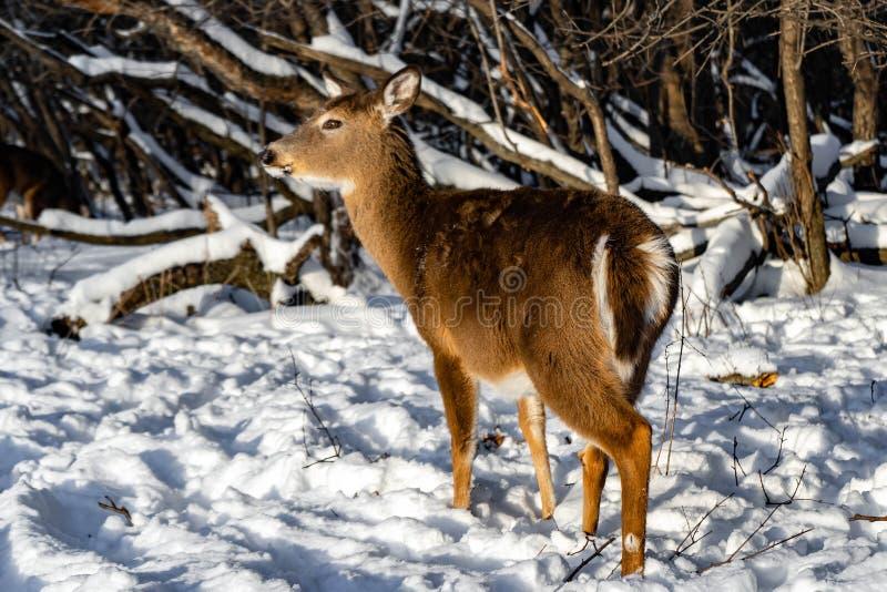 Leuke jonge pluizige hertengangen in het sneeuwbos, de V.S. royalty-vrije stock fotografie