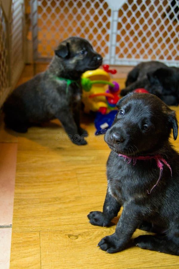 Leuke Jonge Puppy in Speelkamer stock afbeelding