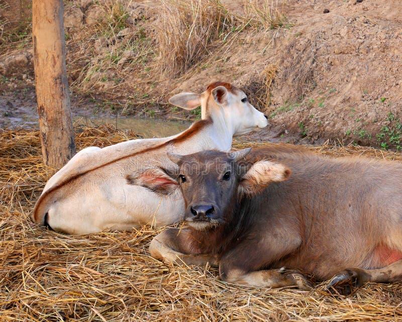 Leuke jonge waterbuffel en zijn broerkalf stock foto