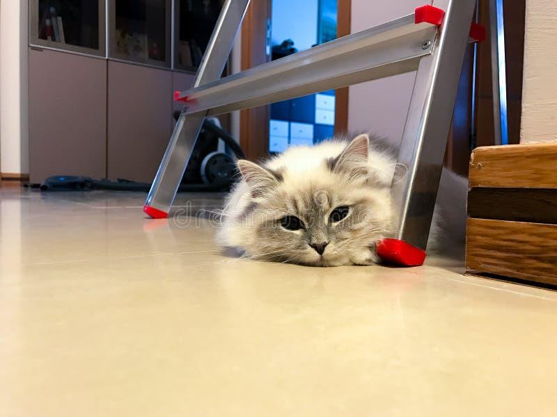 Leuke jonge witte kat die onder de ladder op de vloer binnen een huis liggen royalty-vrije stock foto's