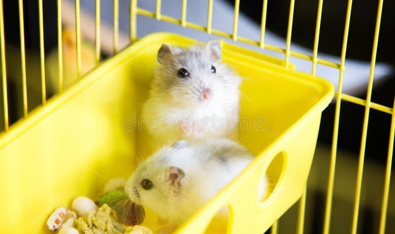 Leuke Jungar-hamsters in een kooi royalty-vrije stock fotografie