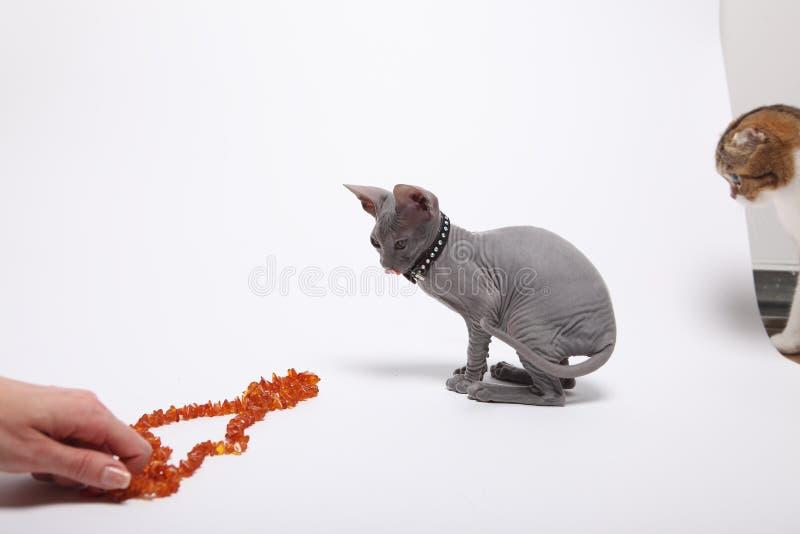 Leuke kale die sfinxkat op wit wordt geïsoleerd stock afbeeldingen