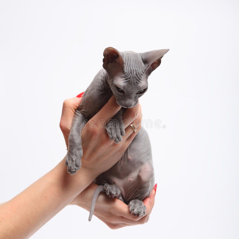 Leuke kale die sfinxkat op wit wordt geïsoleerd stock fotografie
