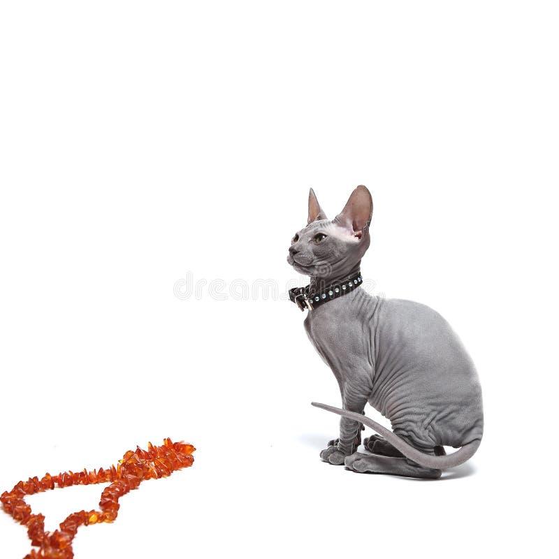 Leuke kale die sfinxkat op wit wordt geïsoleerd royalty-vrije stock afbeeldingen