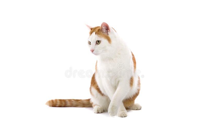 Leuke kat die op wit wordt geïsoleerdt royalty-vrije stock afbeelding