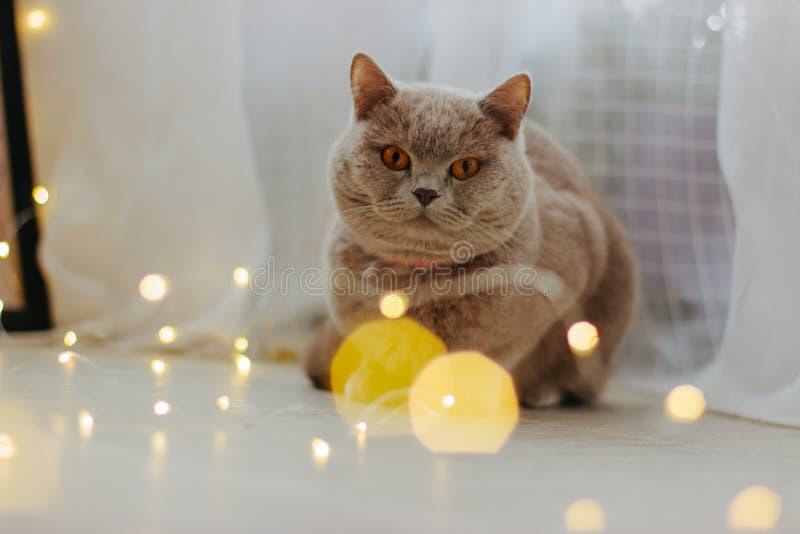 Leuke kat en vage Kerstmislichten stock foto's