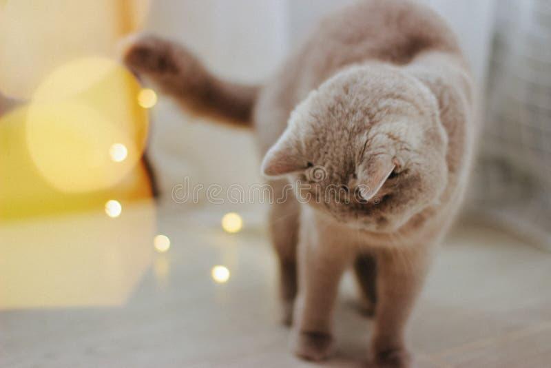Leuke kat en vage Kerstmislichten stock fotografie