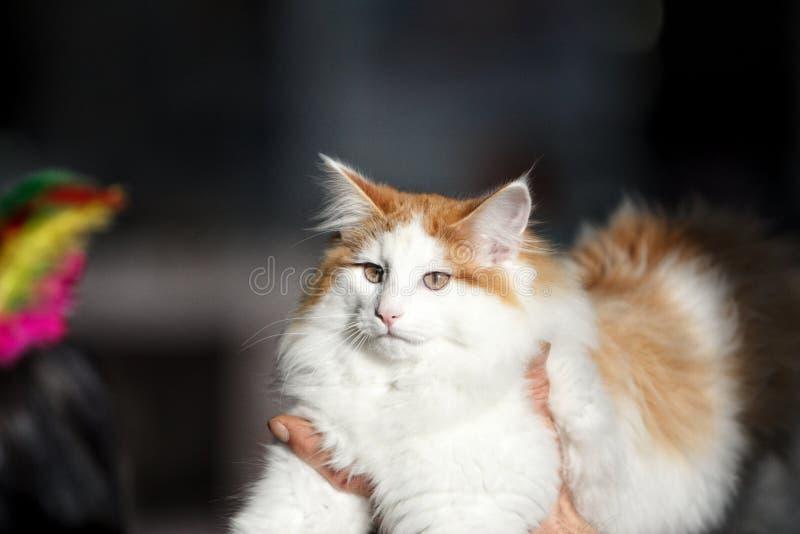 Leuke kat tijdens een tentoonstelling stock foto