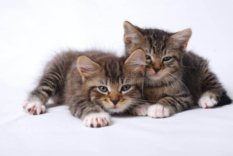 Leuke Katjes slaperig op witte achtergrond royalty-vrije stock foto's