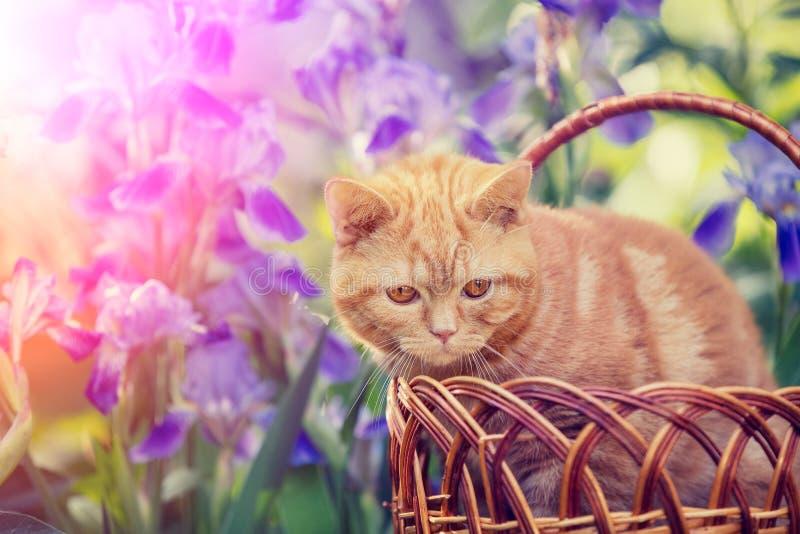 Leuke katjeszitting in irisbloemen royalty-vrije stock afbeelding