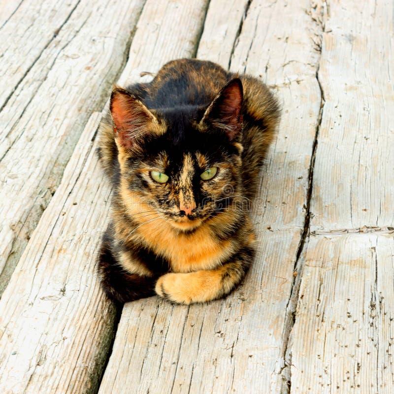 Leuke katjeszitting op een houten vloer De kat heeft een ongebruikelijke schildpadkleur en heldere gele ogen royalty-vrije stock afbeeldingen