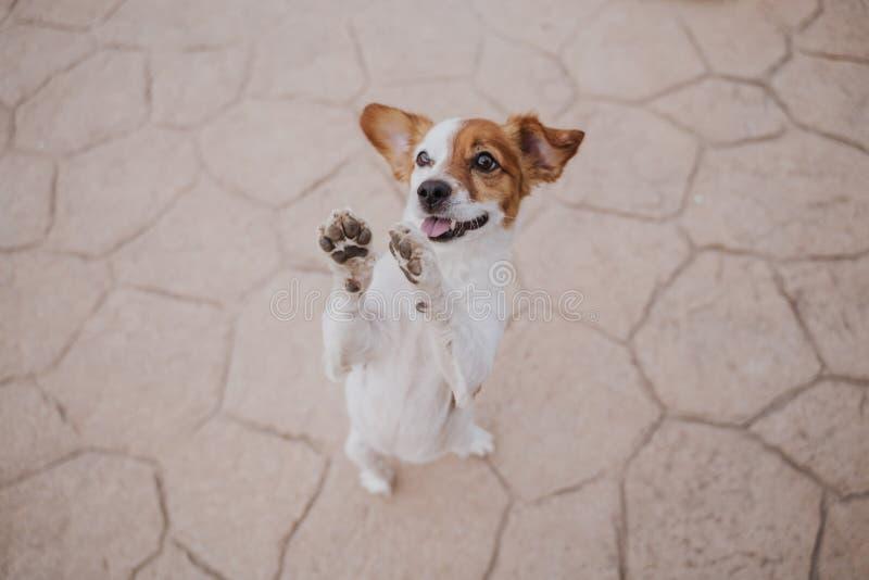 Leuke kleine de terriërhond die van hefboomrussell op twee poten lopen die om heerlijke traktaties vragen Huisdieren in openlucht royalty-vrije stock foto