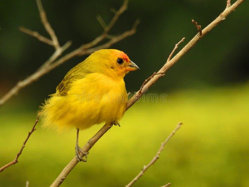 Leuke kleine gele die kanarie op een boomtak wordt neergestreken stock afbeelding