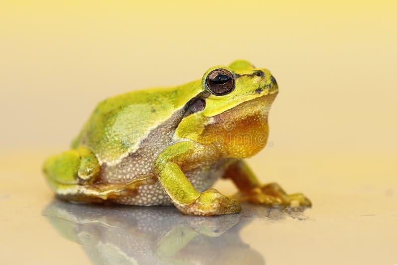 Leuke kleine groene kikker royalty-vrije stock foto