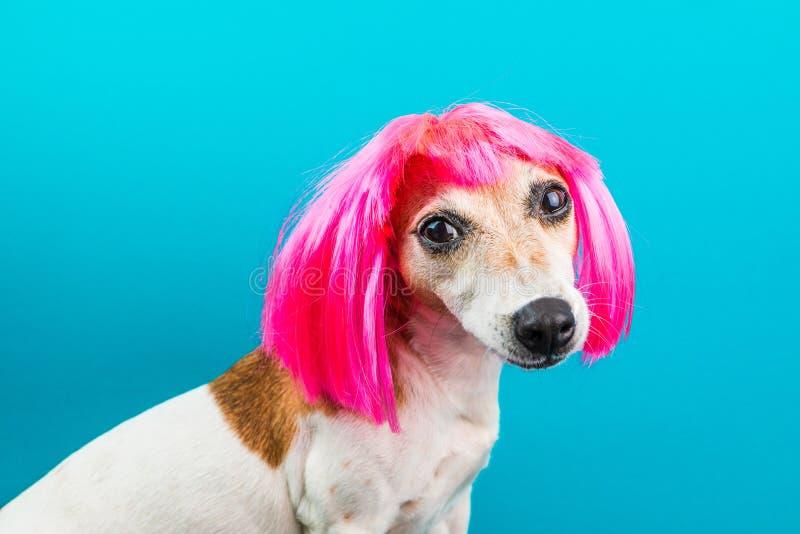 Leuke kleine hond in roze pruik op blauwe achtergrond die aan de camera kijken royalty-vrije stock foto