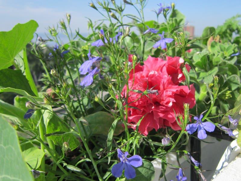 Leuke kleine stedelijke bloeiende tuin op het balkon Blauwe lobelia en de heldere roze petuniabloemen groeien in pot royalty-vrije stock foto's