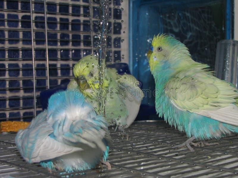 Leuke kleurrijke budgies die een douche hebben stock afbeeldingen