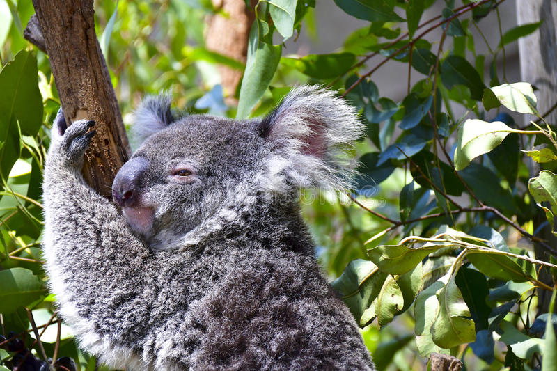 Leuke koala royalty-vrije stock afbeelding
