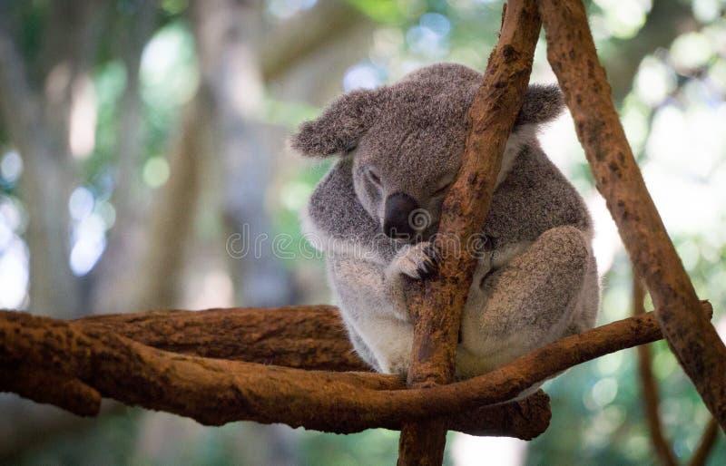 Leuke Koala die bij de dierentuin, Brisbane, Australië rusten stock foto