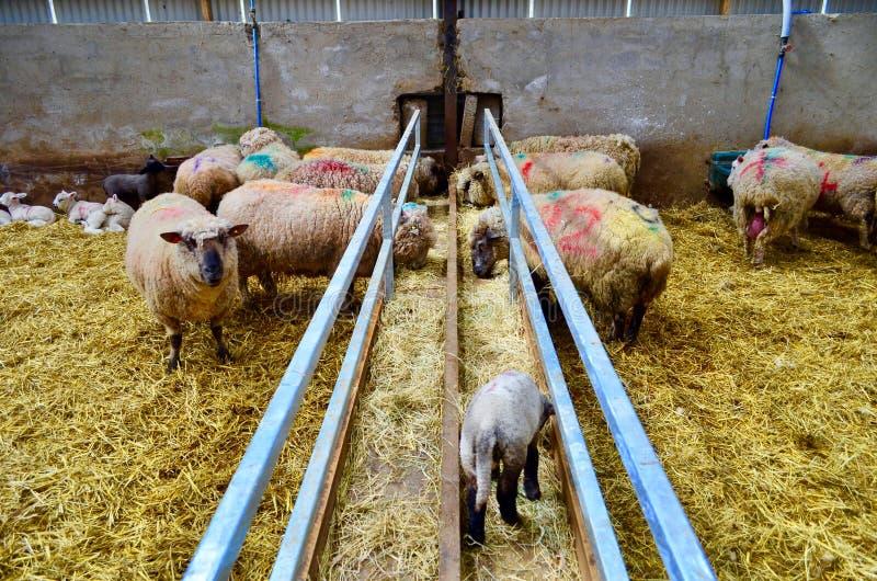 Leuke lam en schapen in het landbouwbedrijf royalty-vrije stock afbeeldingen