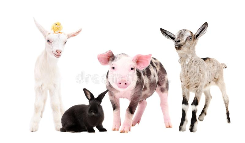Leuke landbouwbedrijfdieren royalty-vrije stock fotografie
