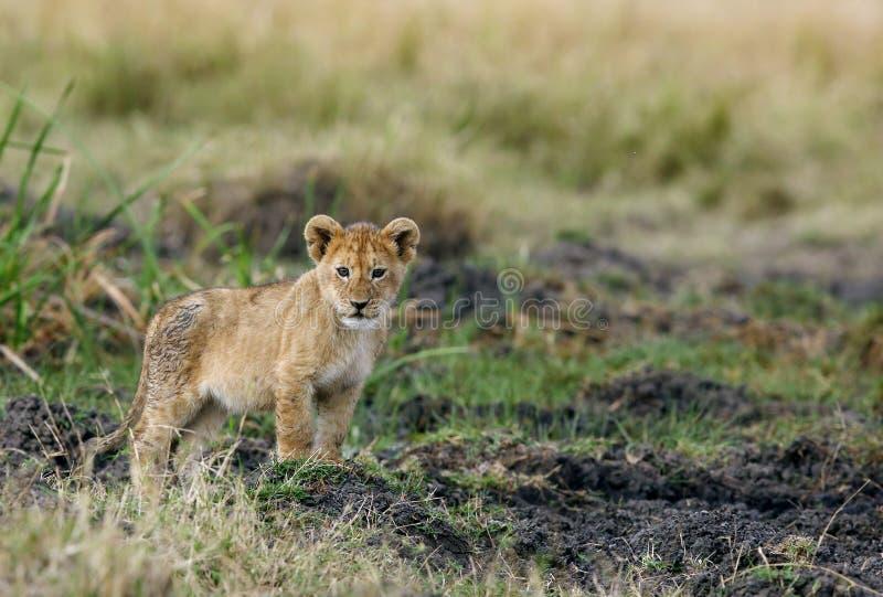 Leuke leeuwwelp royalty-vrije stock foto