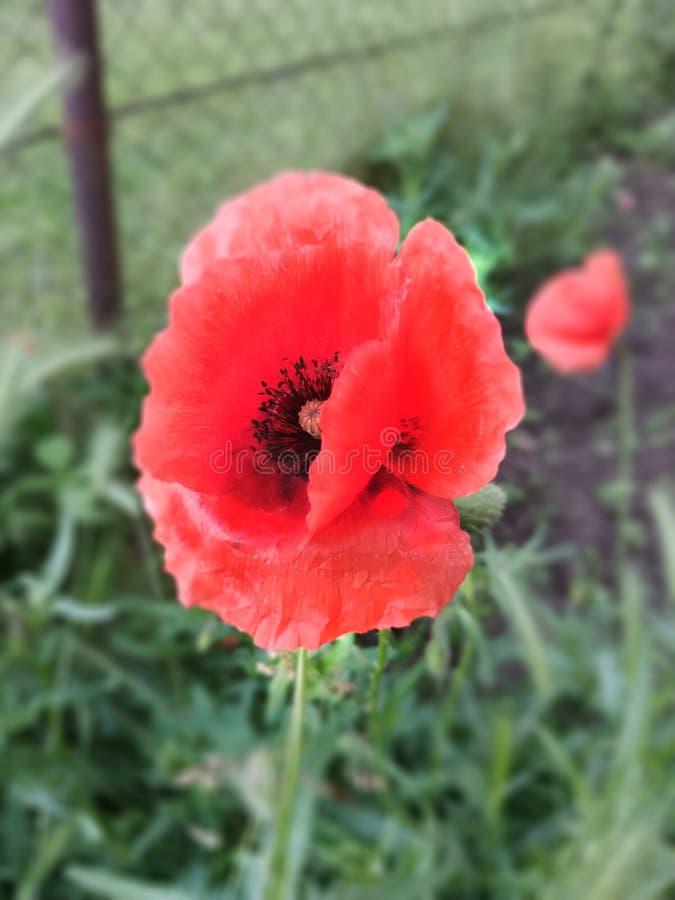 Leuke liitle rode bloem Met groot zwart zaad stock afbeelding