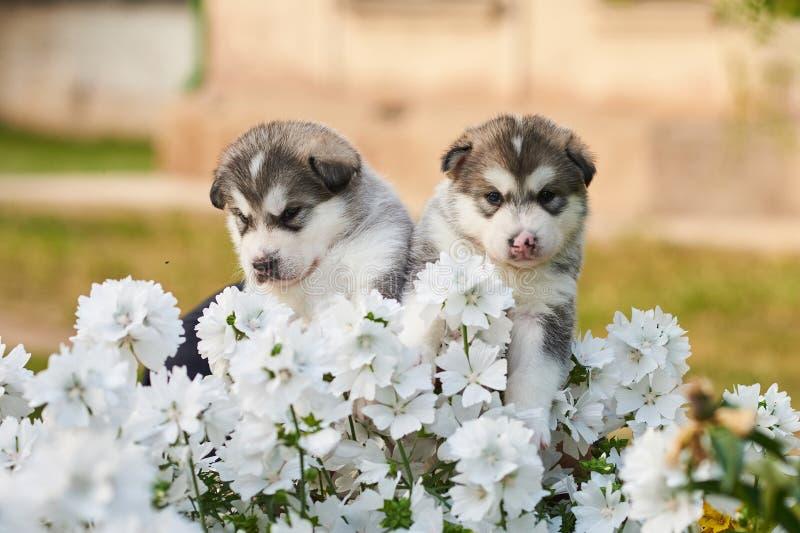 Leuke Malamute-puppy onder witte bloemen op het bloembed royalty-vrije stock afbeelding