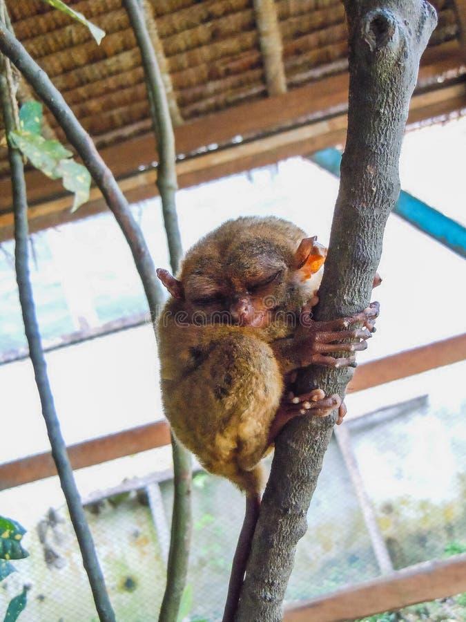 Leuke meer tarsier zitting op een tak met groene bladeren royalty-vrije stock afbeelding