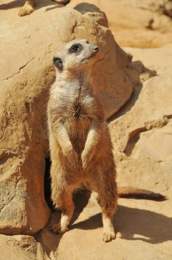 Leuke meerkat royalty-vrije stock afbeeldingen