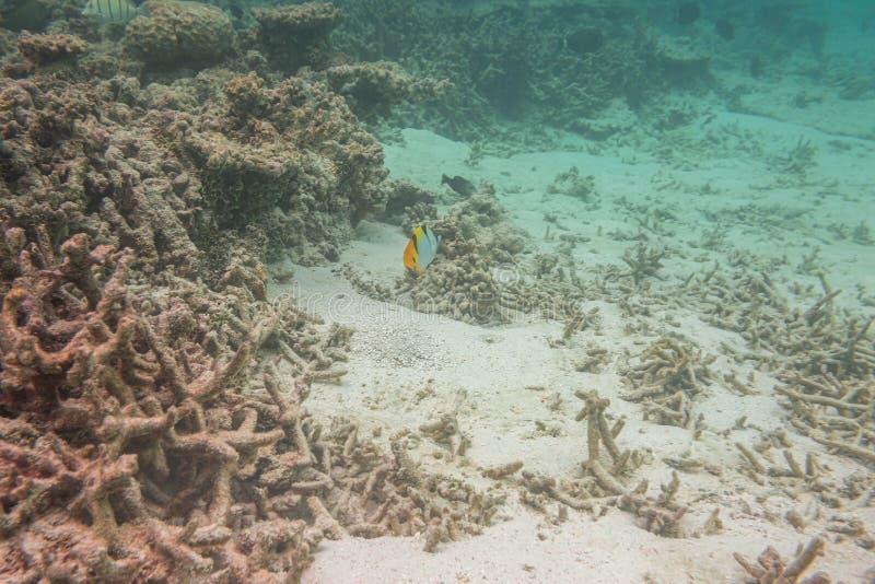 Leuke mening van weinig vis die onder koraal verbergen snorkeling Onderwaterwereld van Indische Oceaan royalty-vrije stock afbeeldingen