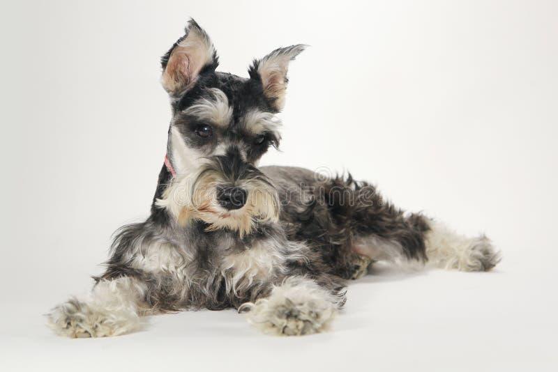 Leuke Miniatuurschnauzer-Puppyhond op Witte Achtergrond stock foto