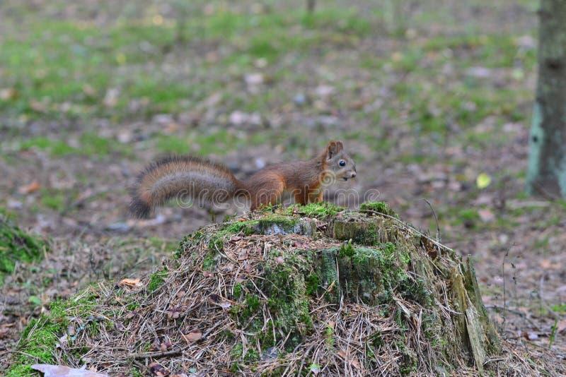 Leuke nieuwsgierige eekhoorn op een stomp in het hout stock foto's