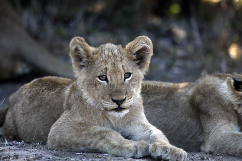 Leuke onder ogen gezien jonge Afrikaanse leeuwwelp stock afbeeldingen