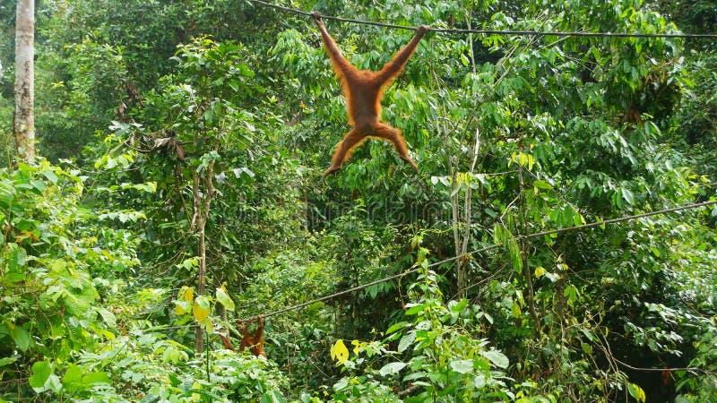 Leuke Orang-oetan Utan die op de kabel in Sepilok slingeren stock foto