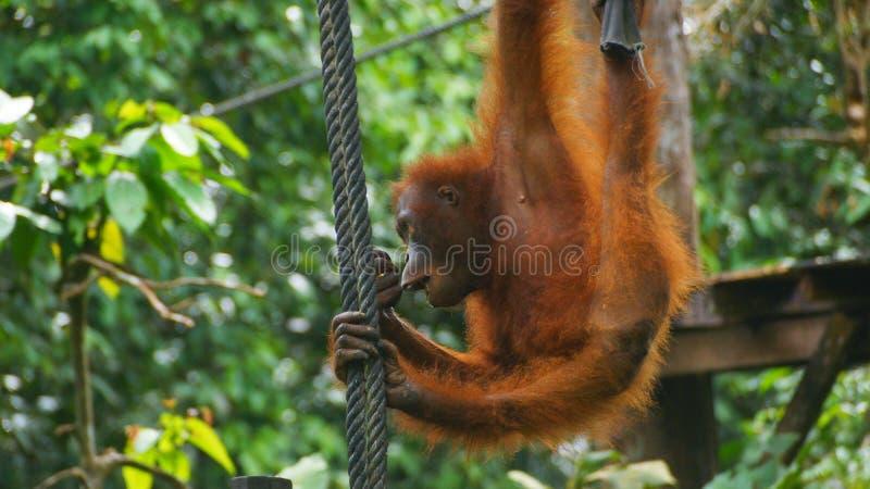 Leuke Orang-oetan Utan die op de kabel in Sepilok slingeren royalty-vrije stock afbeelding
