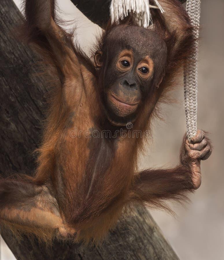 Leuke Orangoetanzuigeling Hangin ` uit stock afbeeldingen