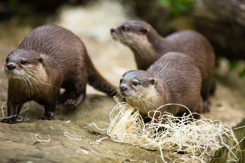 Leuke otters - Europees-Aziatische otter stock afbeeldingen
