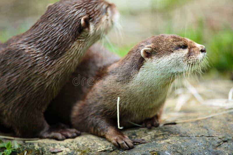 Leuke otters - Europees-Aziatische otter royalty-vrije stock afbeeldingen