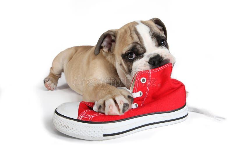 Leuke oude Engelse buldoghond die voor rode schoenen liggen stock afbeelding