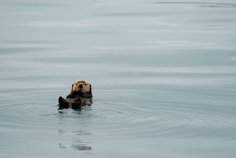 Leuke overzeese otter die op zijn rug in wintertalingswater drijven in Resurrectio royalty-vrije stock afbeelding