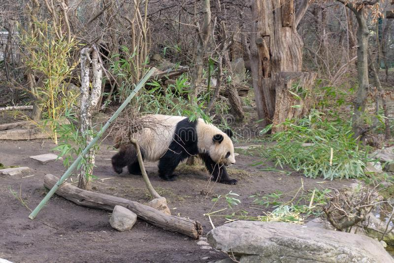Leuke panda in de dierentuin Schoenbrunn van Wenen stock afbeelding