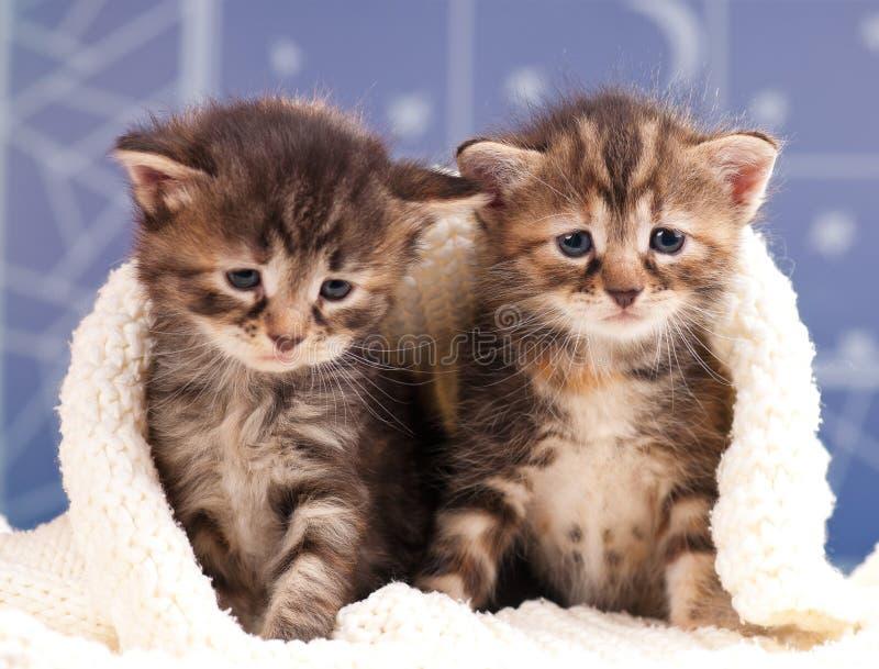 Leuke pasgeboren katjes stock afbeelding