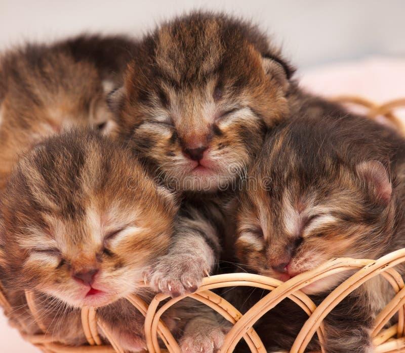 Leuke pasgeboren katjes royalty-vrije stock foto's