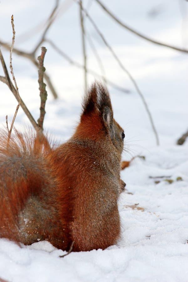 Leuke pluizige eekhoorn die noten op een witte sneeuw in de winter F eten royalty-vrije stock afbeeldingen