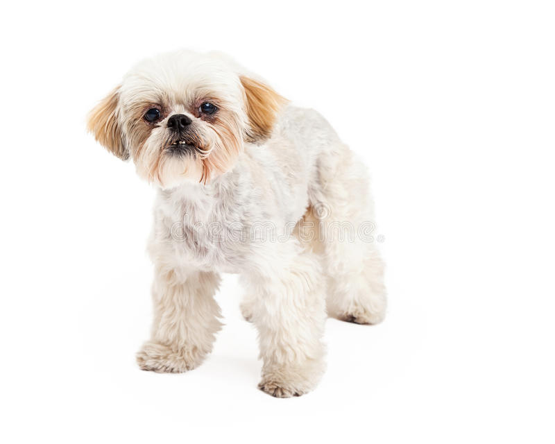 Leuke Poedel en Maltese de Hond van het Mengelingsras Status stock afbeelding