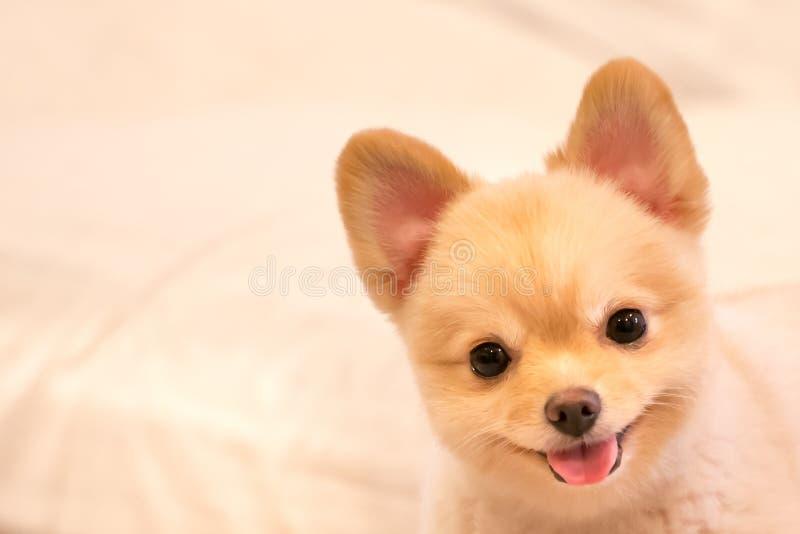 Leuke pomeranian hond die, met exemplaarruimte glimlachen royalty-vrije stock afbeelding