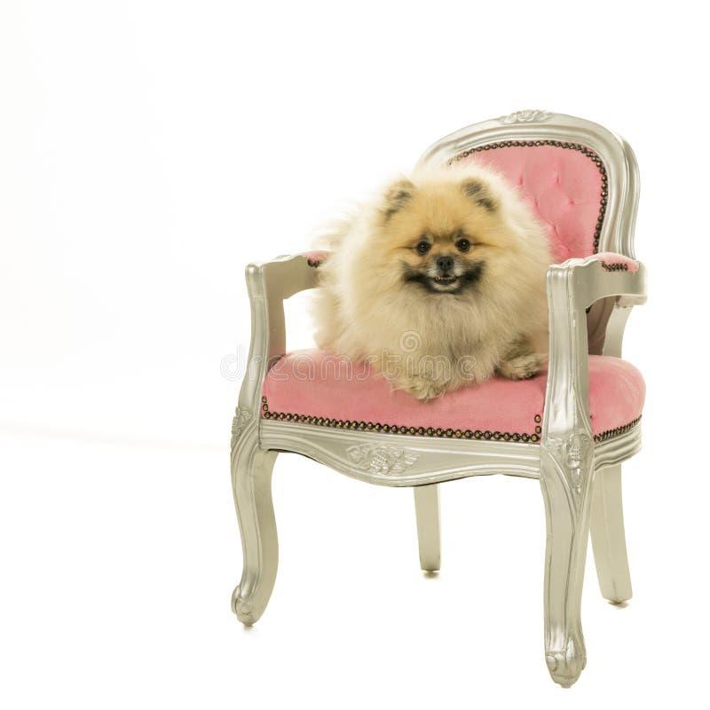 Leuke Pomeranian-hondzitting als roze barokke die voorzitter op een witte achtergrond wordt geïsoleerd royalty-vrije stock afbeelding